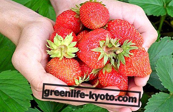 Cultivo de fresas en el jardín.