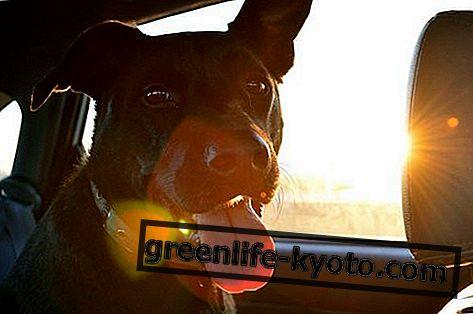 Слънчев удар в кучето, всички лекарства