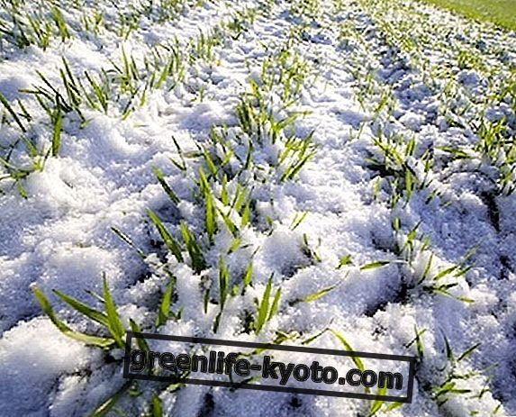 Hoe planten en kruiden tegen de kou te beschermen