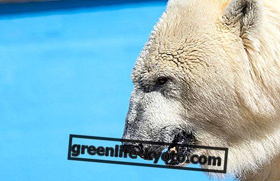 Sos polarni medvjedi