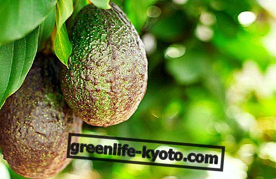 Авокадо, сколько воды нужно для его выращивания