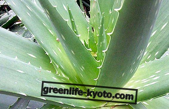 Aloe vera, bin özellikleri olan bir bitki
